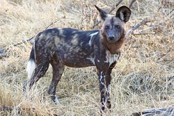 Another painted dog