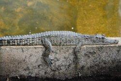 Young Saltwater Crocodile