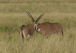 Oryx, western Serengeti.