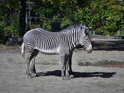 Grevy's Zebras (2) -- two sisters.