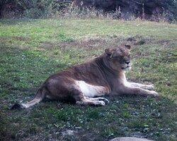 Female lion -- afternoon siesta.