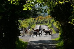 Alpacas abount at K2alapcas. With 90 alpacas and 90 acres we have plenty to experience and enjoy.