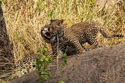 Leopard cub giving Mom some Love.
