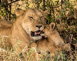 Lion mom with one of four cubs