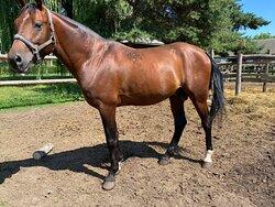 Beautiful - slim , race horse from Radauti .