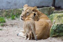 Львы в Рижском Зоопарке