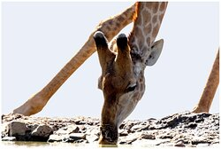 View of a giraffe from the underground hide