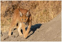 Caracal seen on game drive