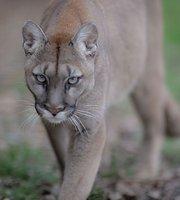Recensement des comptes multiples Puma-at-the-big-cat-sanctuary