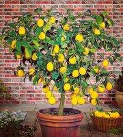 Lemon Tree Gastrobar