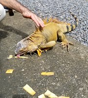 Crazy Iguana