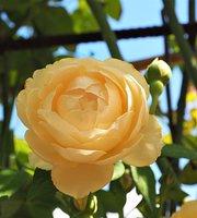 Royal Rose Garden Houy Pak Pai