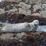 Harbor seal seen from Moonstone Beach, July 2004