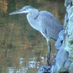 Blue Heron  by the Green Heron Inn