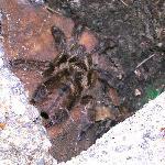 Local tarantula