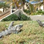 the resident Iguanas