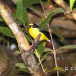 Yellow Crowned Euphonia (Las Cabanitas)