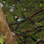 Golden Hooded Tanager (Las Cabanitas)
