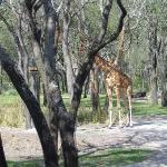 Giraffe from the center rock