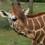 Photogenic Giraffe