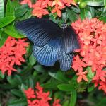 Blue butterfly at Le Vimarn