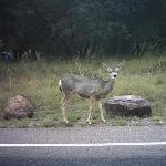 Muledeer on park road going to lodge
