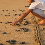 At Sunset thousands of hatched baby turtles are released by the inhouse biologist with help...
