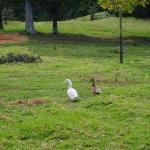 Ducks on the property