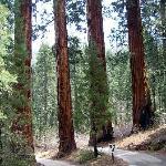 Sequoya's giant redwoods
