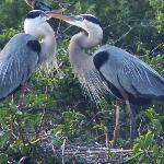 Great Blue Herons - mating behavior