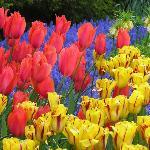 Keukenhof tulips near Golden Tulip Hotel