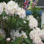 Rhododendron in the front yard