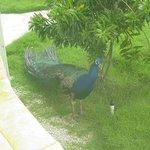AM peacock wake-up call