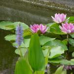 Beautiful water lillies