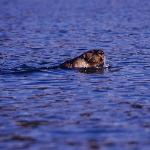 playful sea otter in the cove