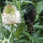 Butteflies snacking on teasel along the nature trail.