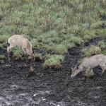 Deer feeding at the mud pool