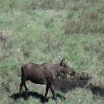 Moose feeding at the mud pool