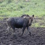 Moose feeding at the mud pool 2