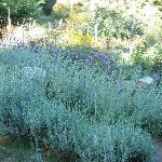 Lavender garden at the inn