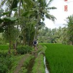 trekking through the ricefields