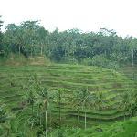 Bali Rice terrances