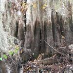 Cypress Tree Trunk