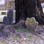 Headstones in tree at Prince George Winyah Episcopal Church in Georgetown