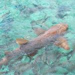Shark (seen on our snorkel/sail trip!)