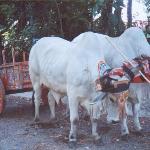 Oxcart displayed at hacienda