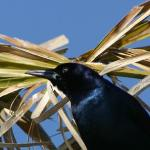 Black Crow in palm tree at Huegenot Park