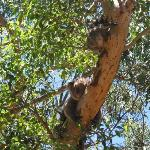 Koala walk: mother and cub sleeping