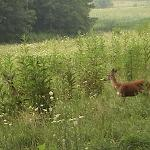 More Deer in Cades Cove