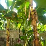 Bananas growing right outside our door!